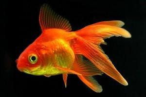 zhyvotnye-zolotie-ribki2